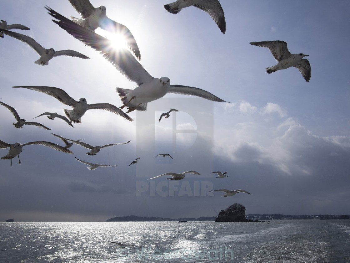 """Flocks of Matsushima Black Tail Gull"" stock image"