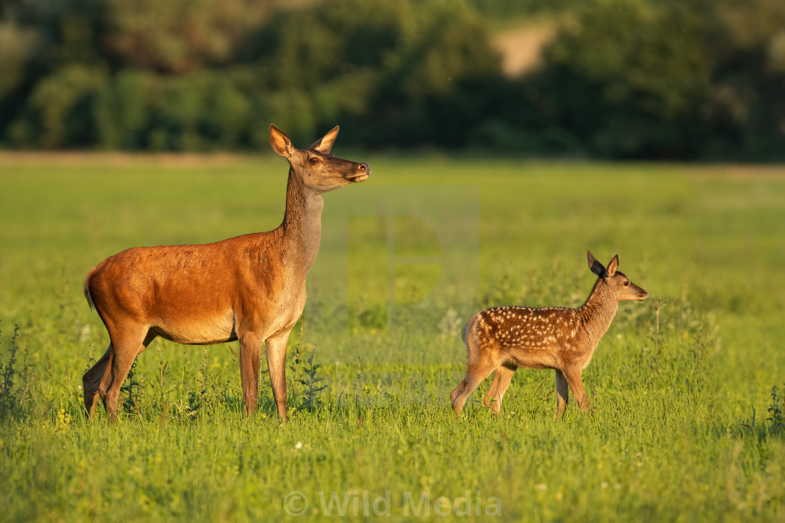 """Red deer hind with calf walking at sunset."" stock image"