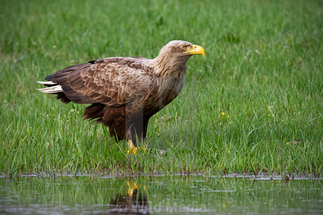 """Adult white-tailed eagle, haliaeetus albicilla, in summer sitting on a bank."" stock image"