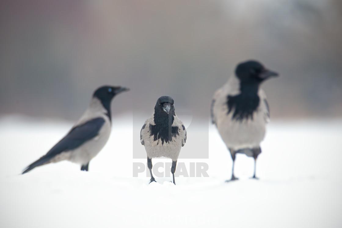 """Three hooded crows, corvus cornix, sitting on a snow."" stock image"