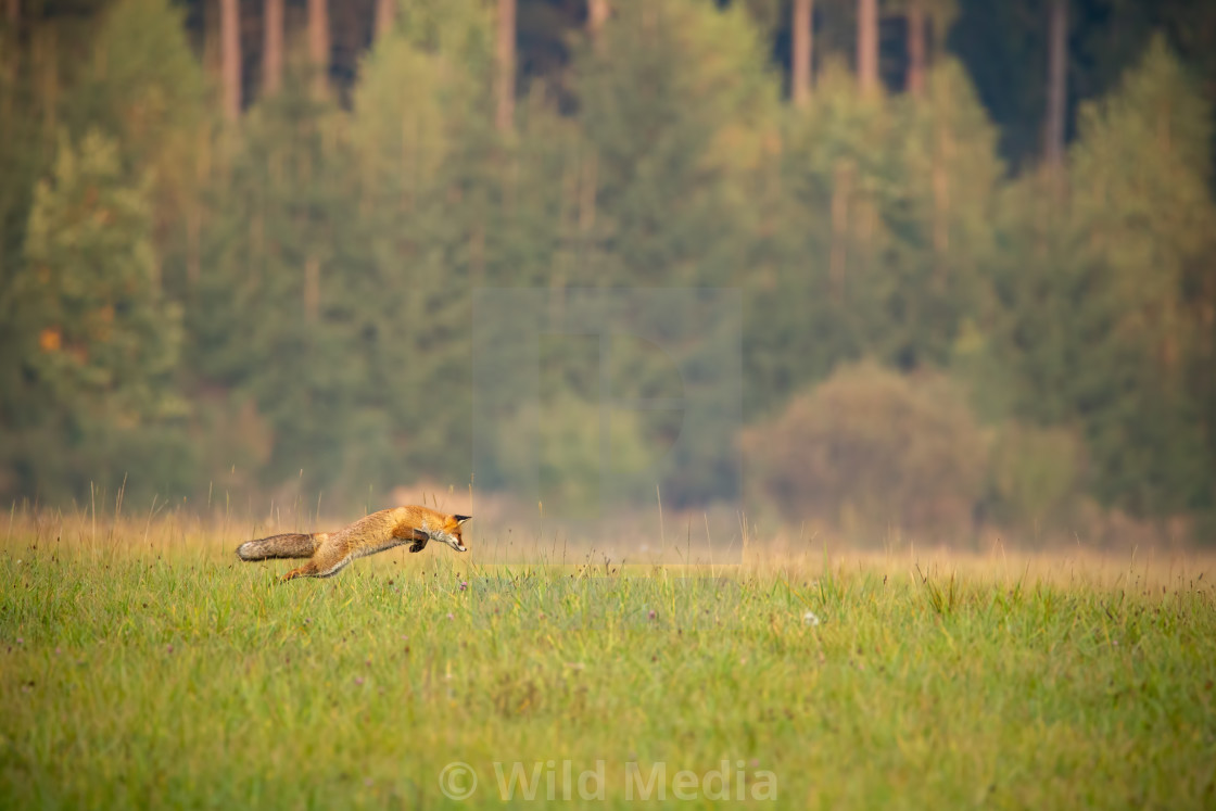 """Red fox hunting on a meadow with forest in background in autumn."" stock image"