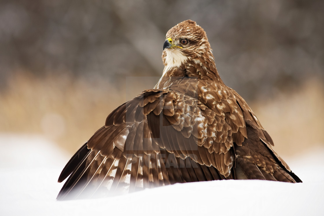 """Fierce common buzzard protecting the prey with wings spread wide in polar nature"" stock image"