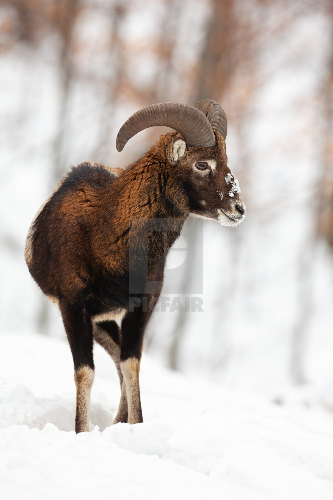"""Mouflon ram with horns watching around in snowy forest."" stock image"