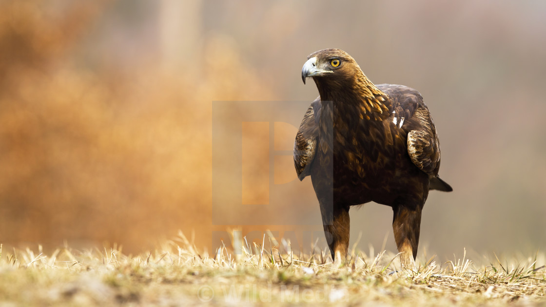 """Golden eagle, aquila chrysaetos, with brown plumage and powerful beak"" stock image"