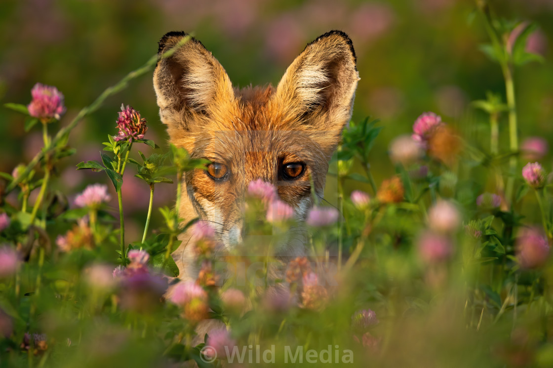 """Close-up of a shy red fox hiding behind grass and flowers at sunrise."" stock image"