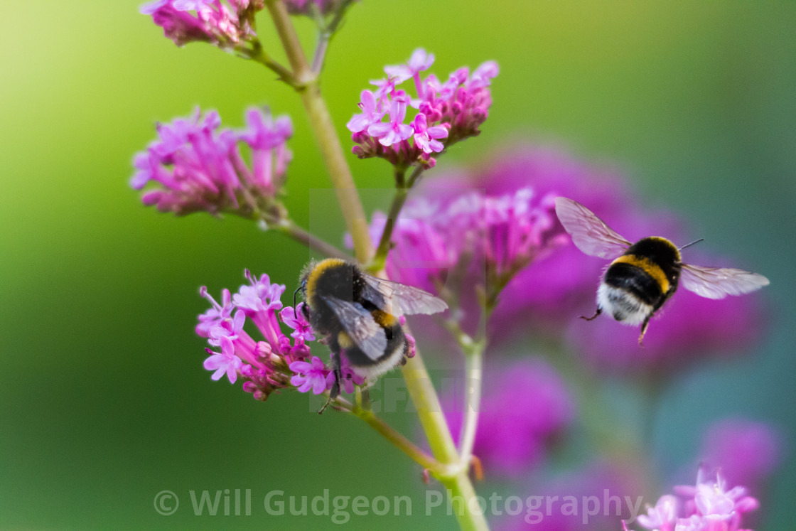 """2 busy Bees"" stock image"