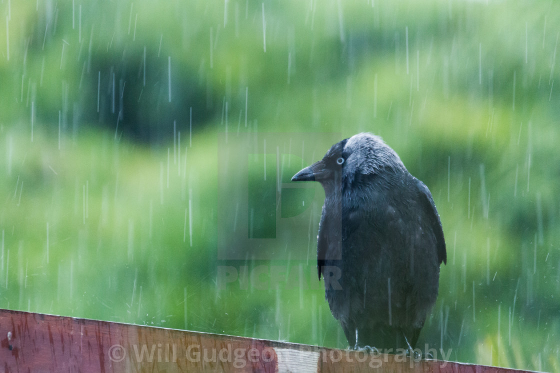 """Jackdaw in the rain"" stock image"