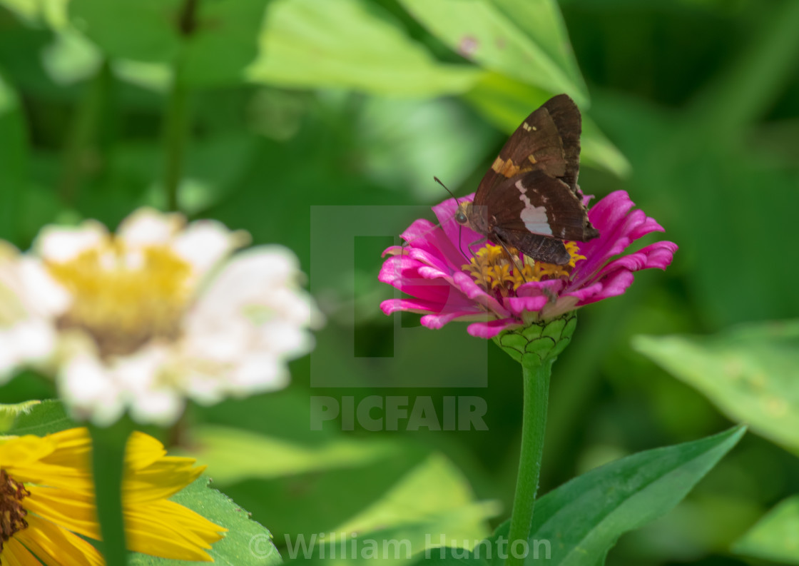 """Butterfly on pink aster"" stock image"