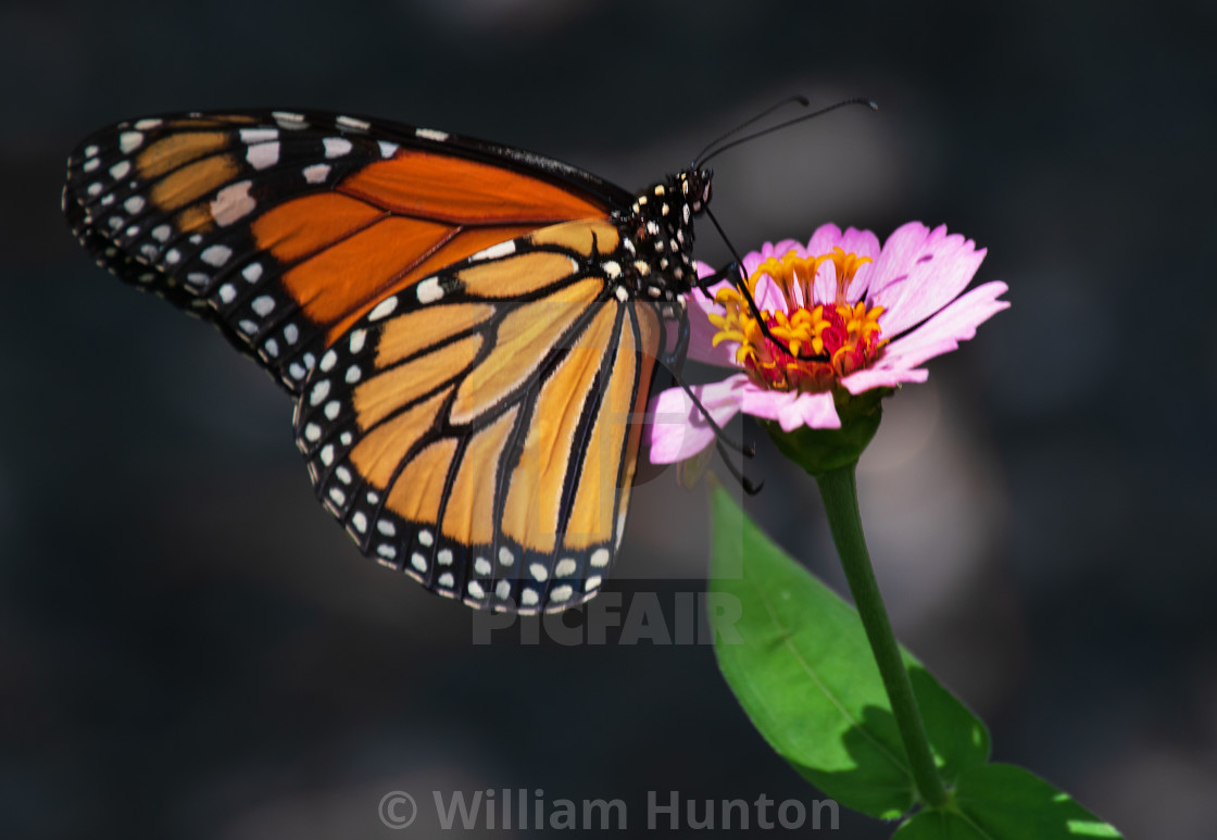"""""""Monarch butterfly on pink flower"""" stock image"""
