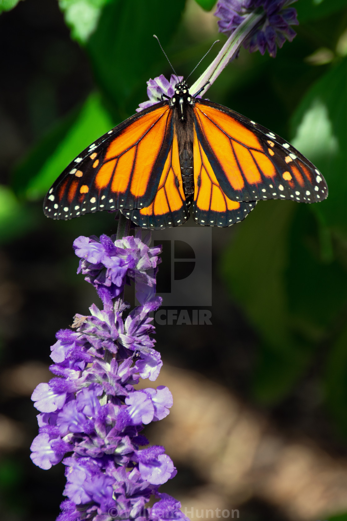 """""""Butterfly on Flowers"""" stock image"""