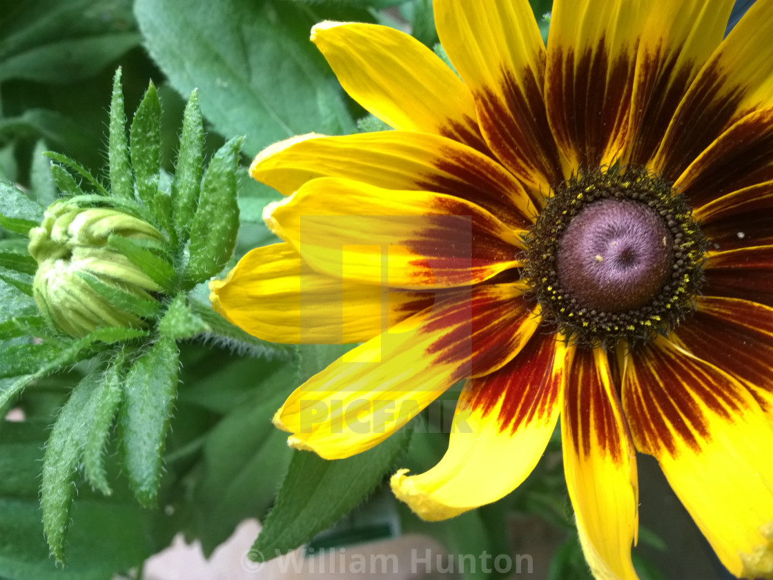"""""""Daisy Blooms"""" stock image"""