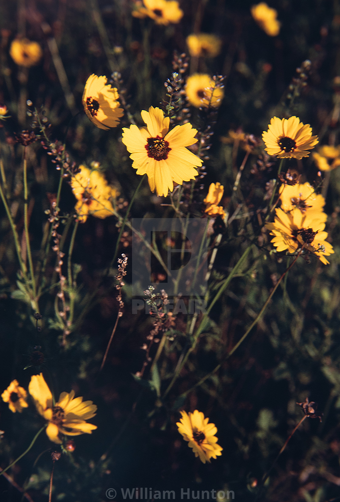 """""""Asters in the morning sun"""" stock image"""