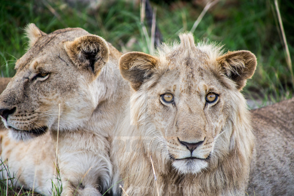 """Lion and Lioness"" stock image"