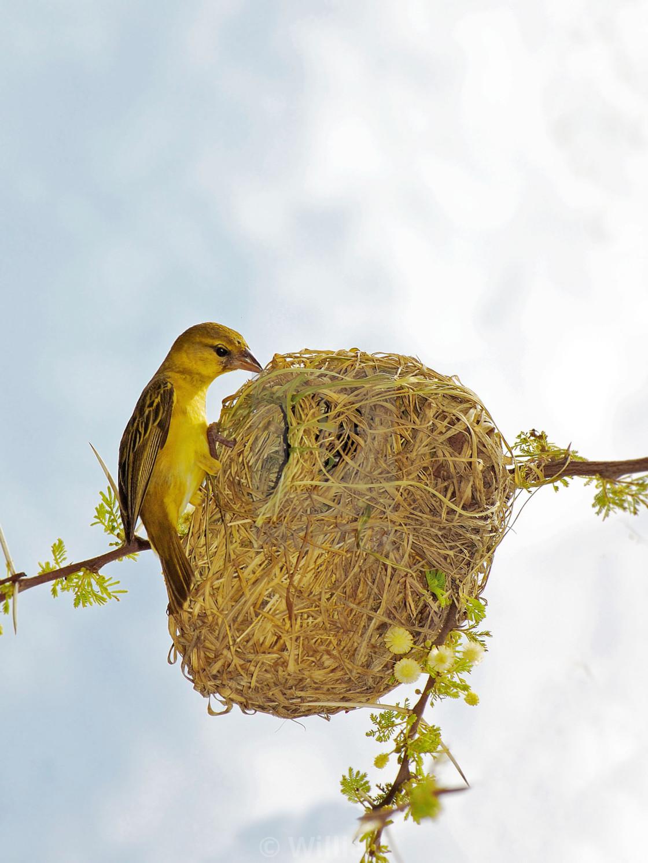Dsc 6350 Weaver Bird Nesting License Download Or Print For