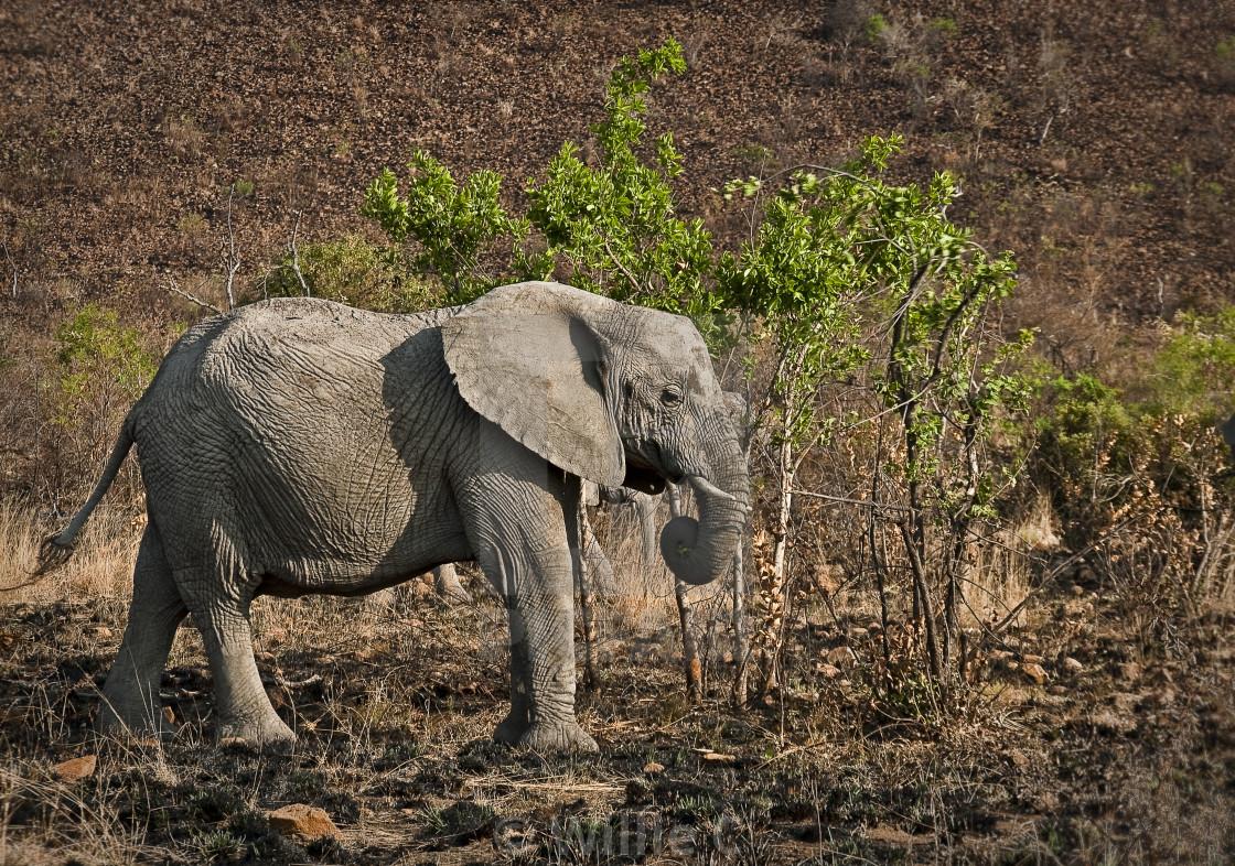 """DSC_7116- Young Elephant"" stock image"