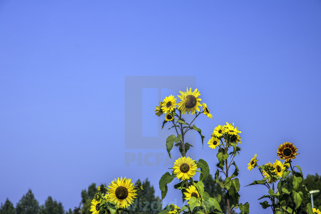 """The Sunflower Family"" stock image"