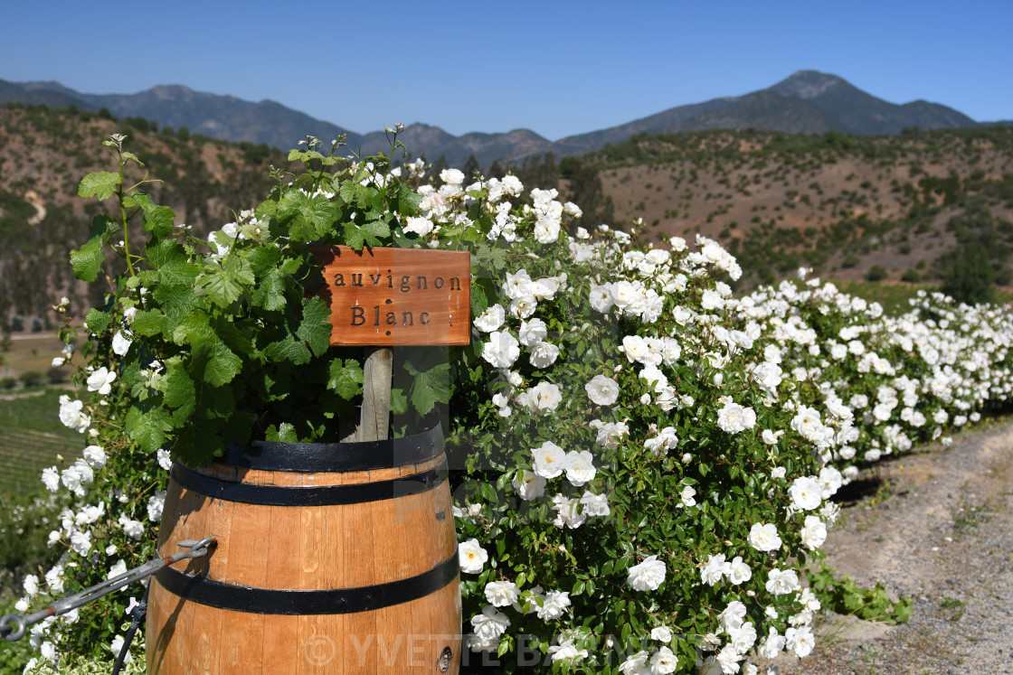 """Sauvignon blanc wine barrel"" stock image"