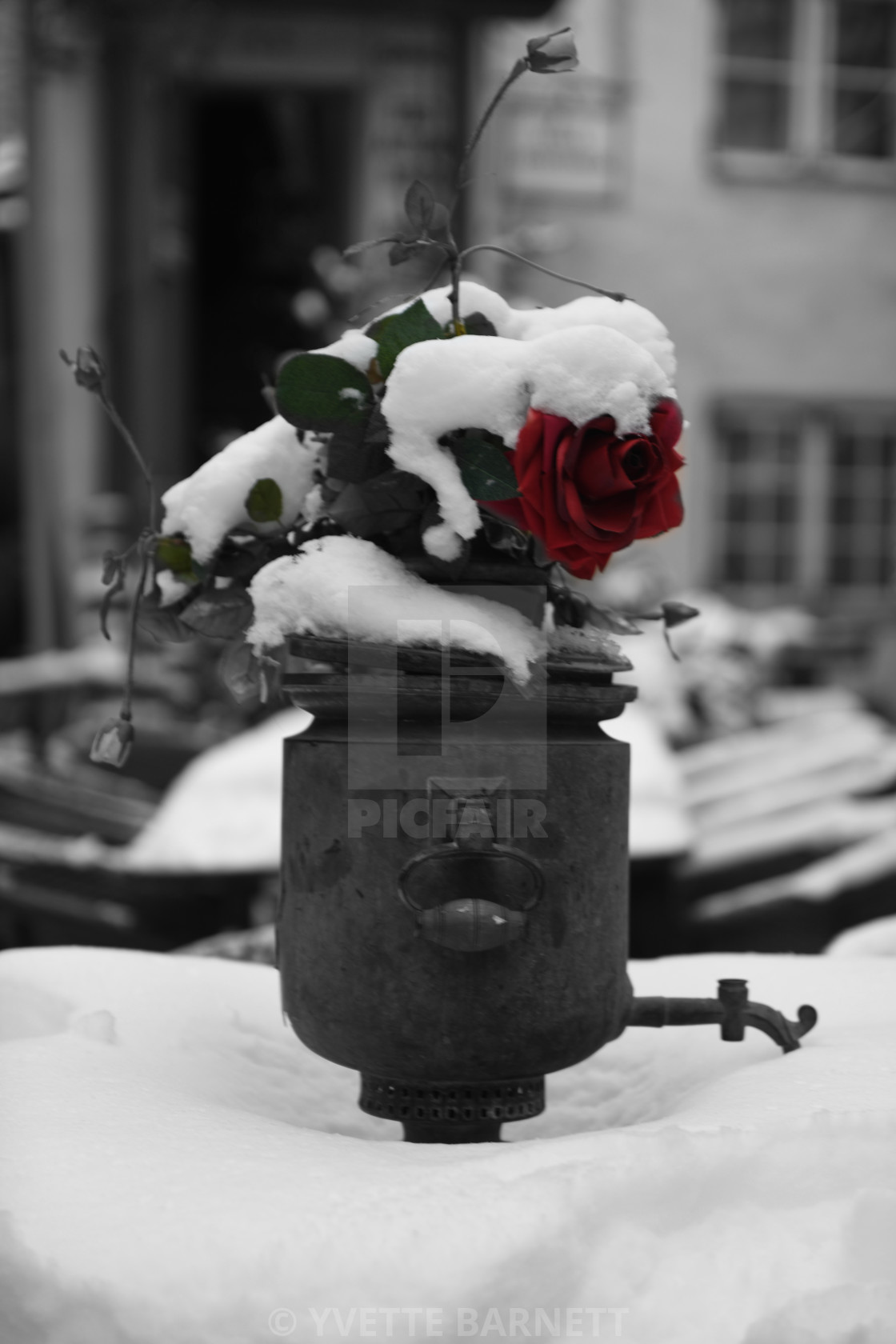 """""""rose in the snow"""" stock image"""
