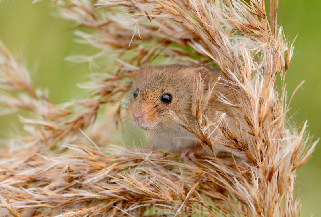 """""""harvest mouse in the wheat"""" stock image"""