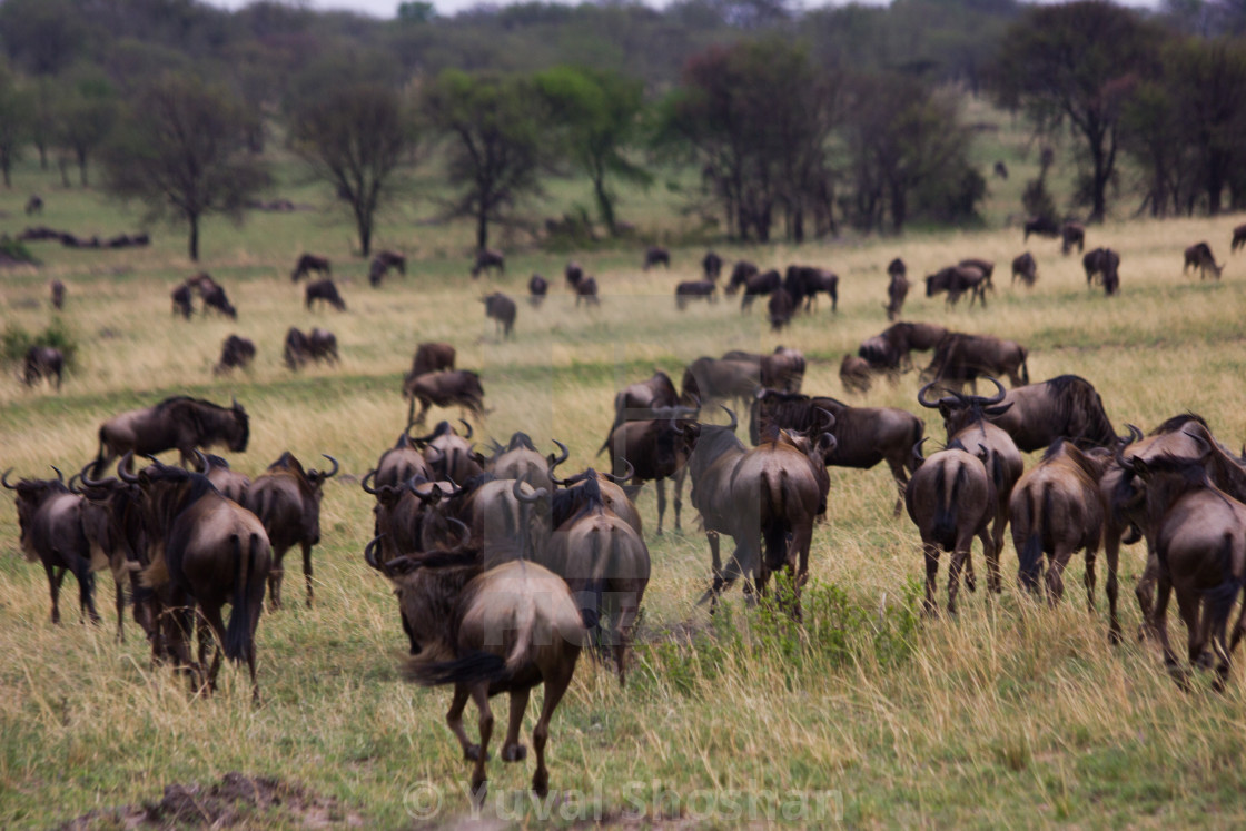 """Wildebeest running away"" stock image"