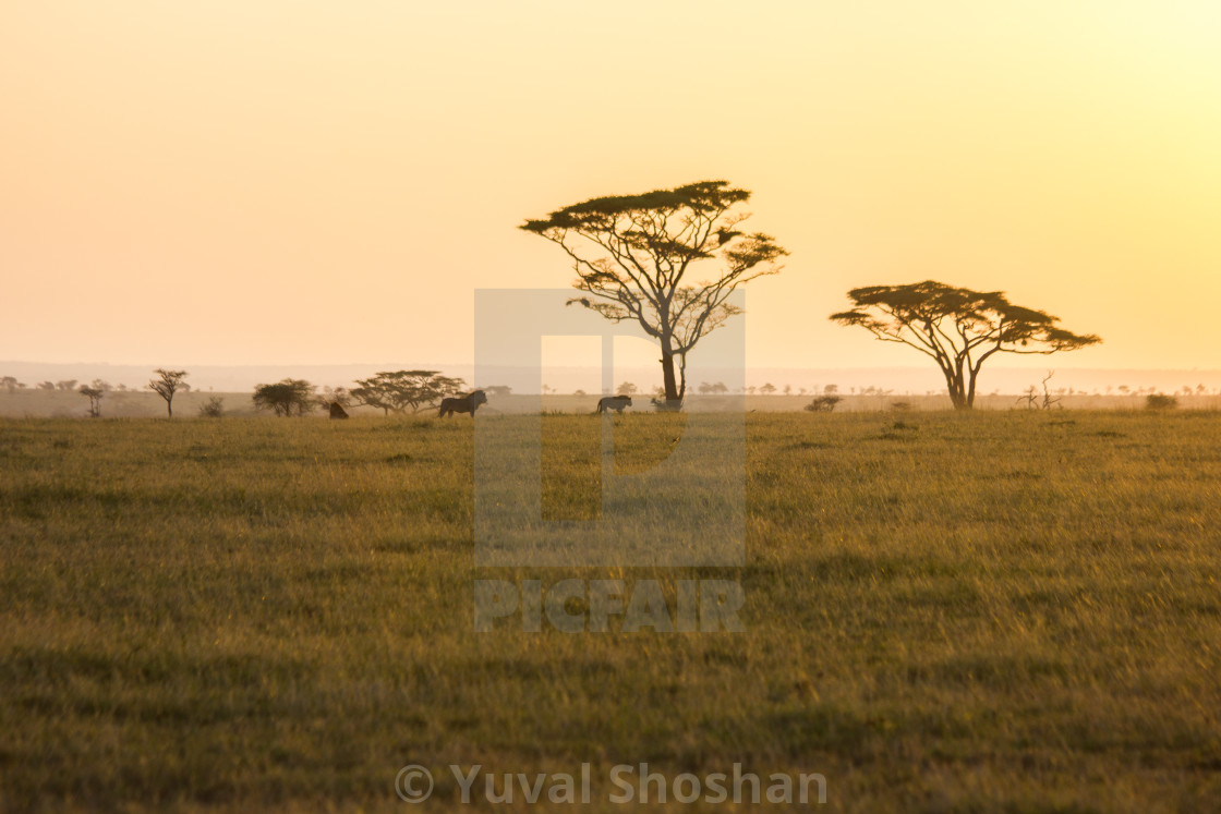 """Morning in the Serengeti"" stock image"