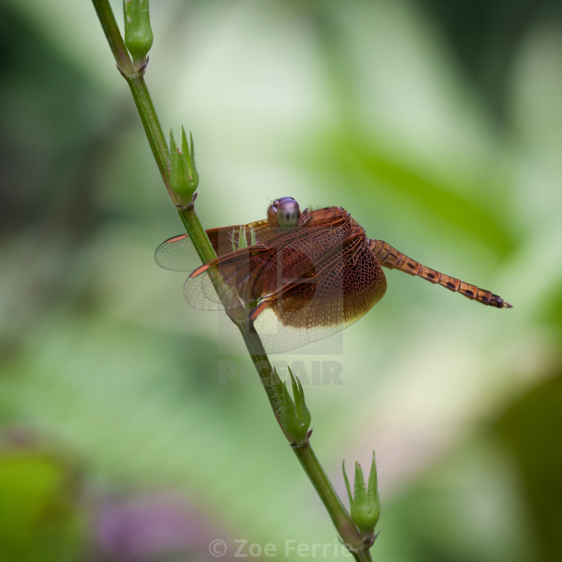 """Macro photograph of a Dragonfly"" stock image"