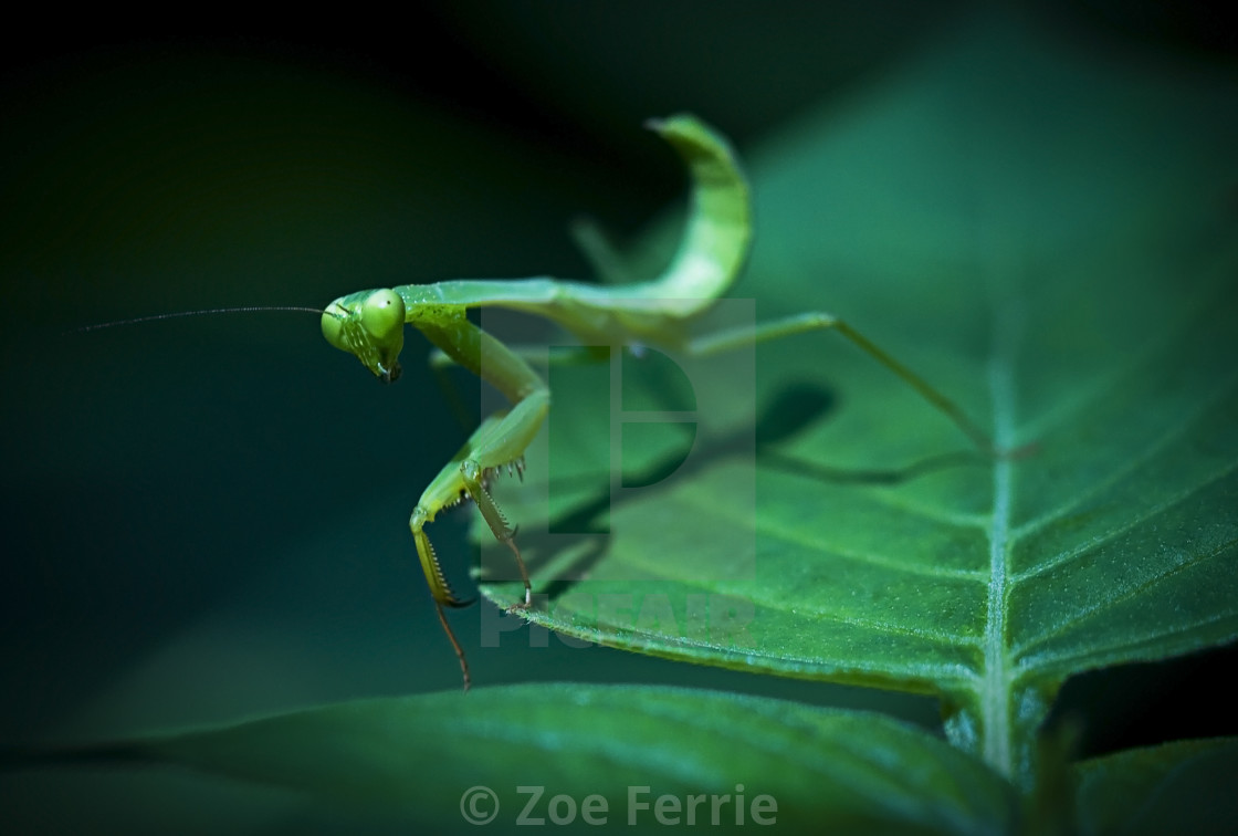 """Walking Mantis"" stock image"