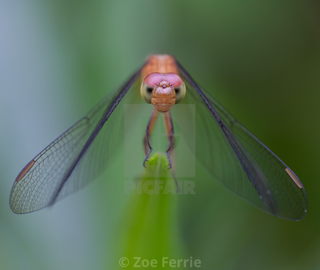 """Watching Dragonfly"" stock image"