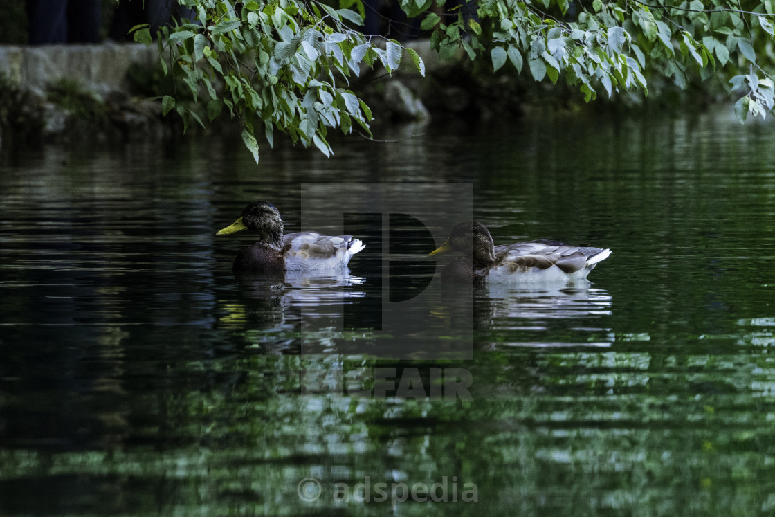 """Ducks on the Lake"" stock image"