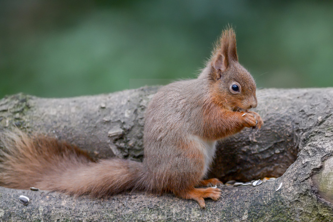 """Red squirrel on a tree 4"" stock image"