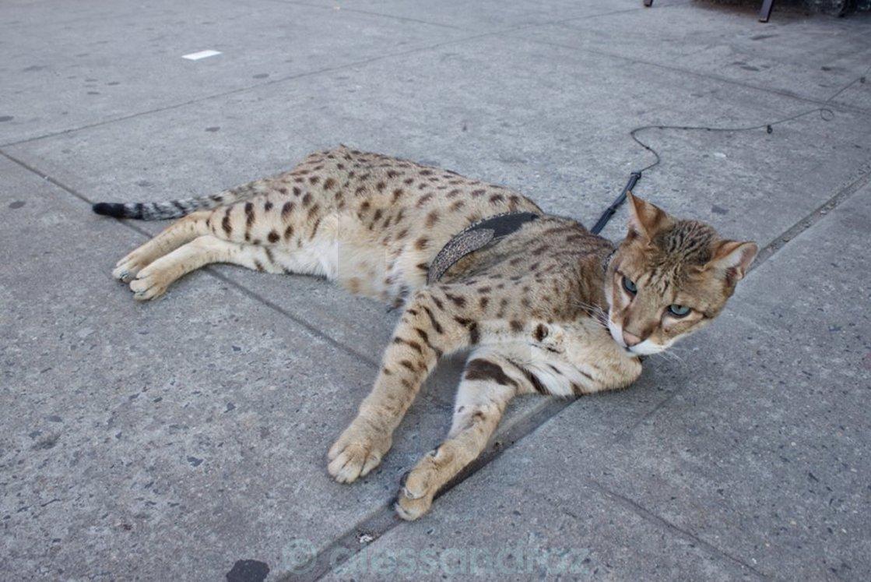 """bengala cat"" stock image"