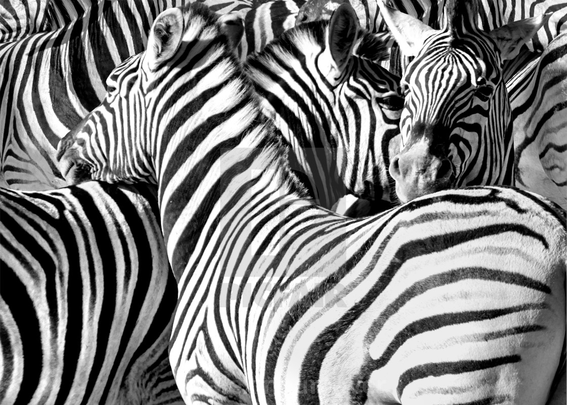 Zebras black and white