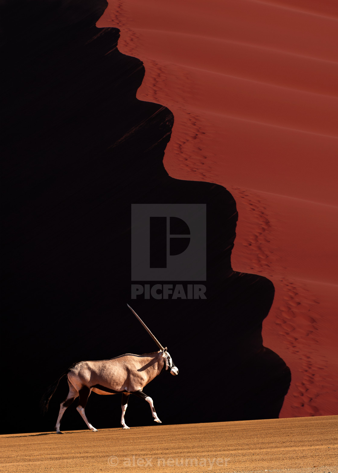 """oryx with a wavy sand dune"" stock image"