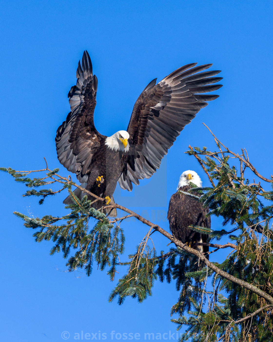 """Bald Eagle landing in tree"" stock image"