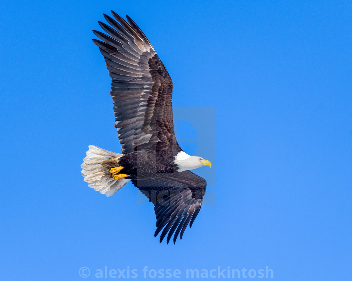 """Mature bald eagle flys by."" stock image"