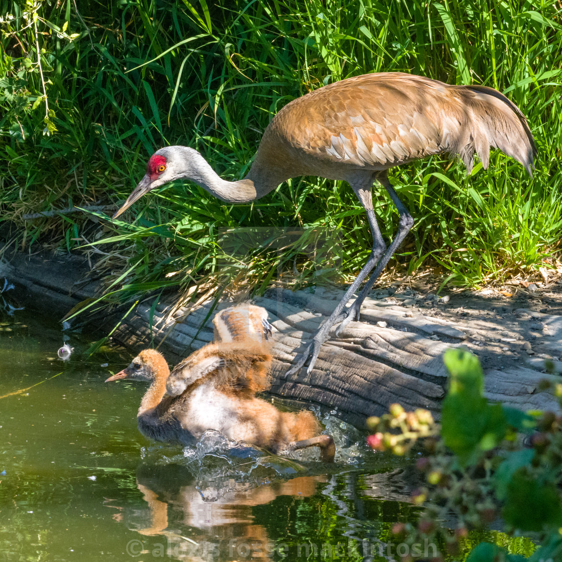 """Sandhill Crane colt jumps into water while mother crane watches."" stock image"