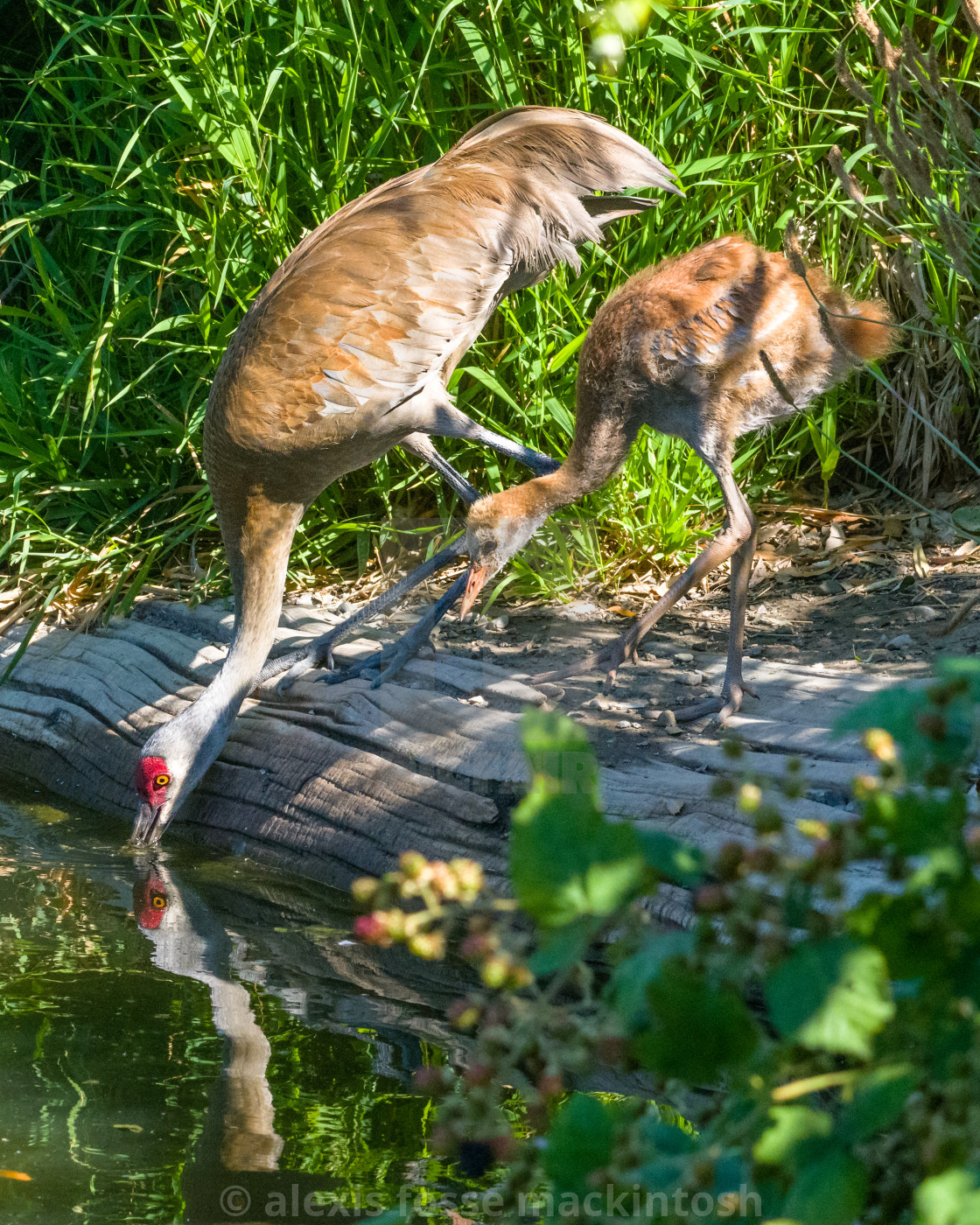 """Sandhill crane drinks while her colt watches"" stock image"