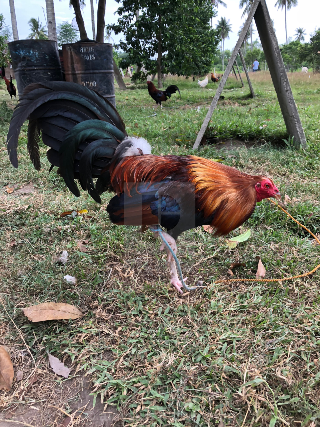 """""""Modern Game Fowl Rooster Side View"""" stock image"""