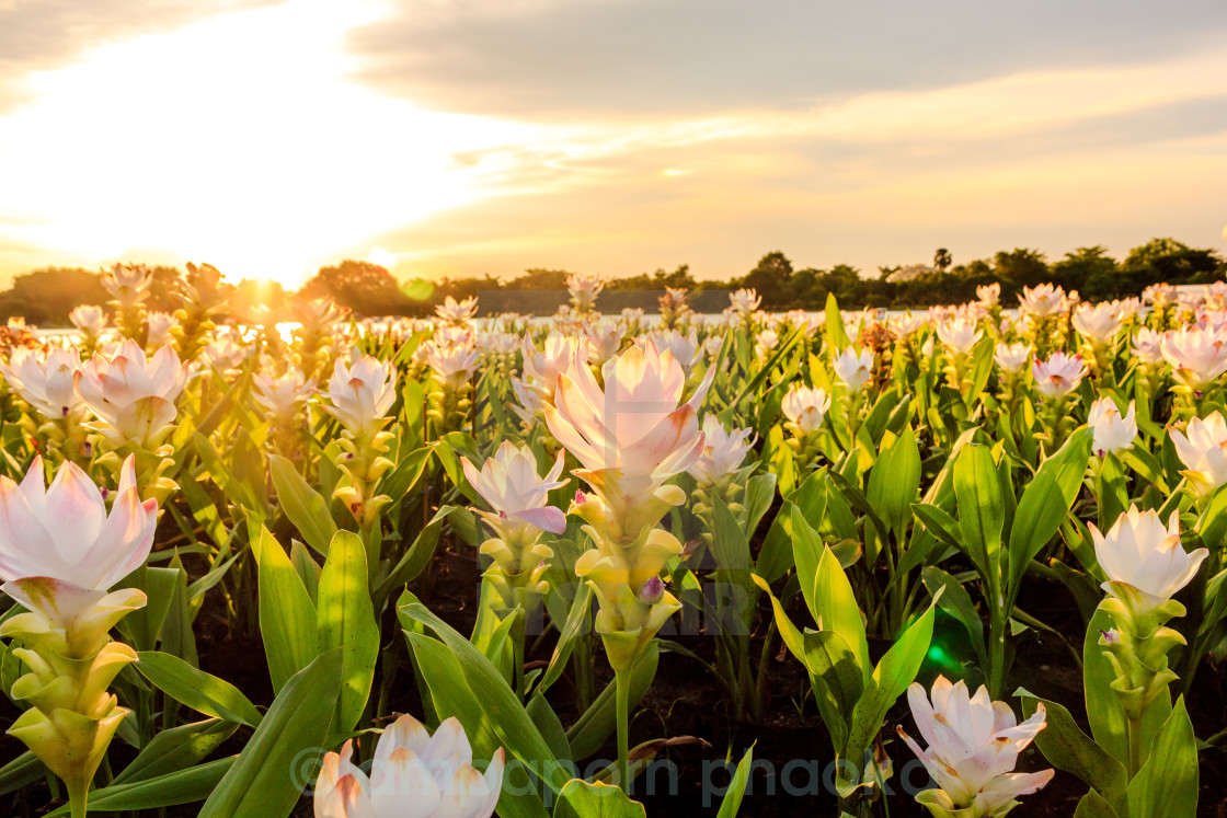 """Siam tulip and sunset"" stock image"