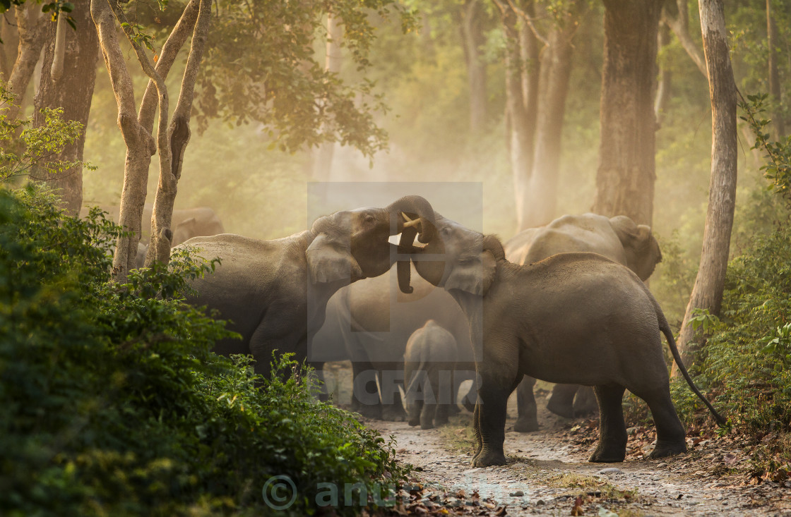"""male elephants sparing"" stock image"
