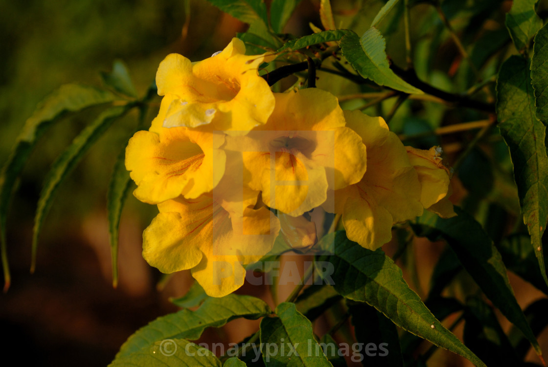 Tecoma Stans Yellow Elder Yellow Bells Bignoniaceae Family