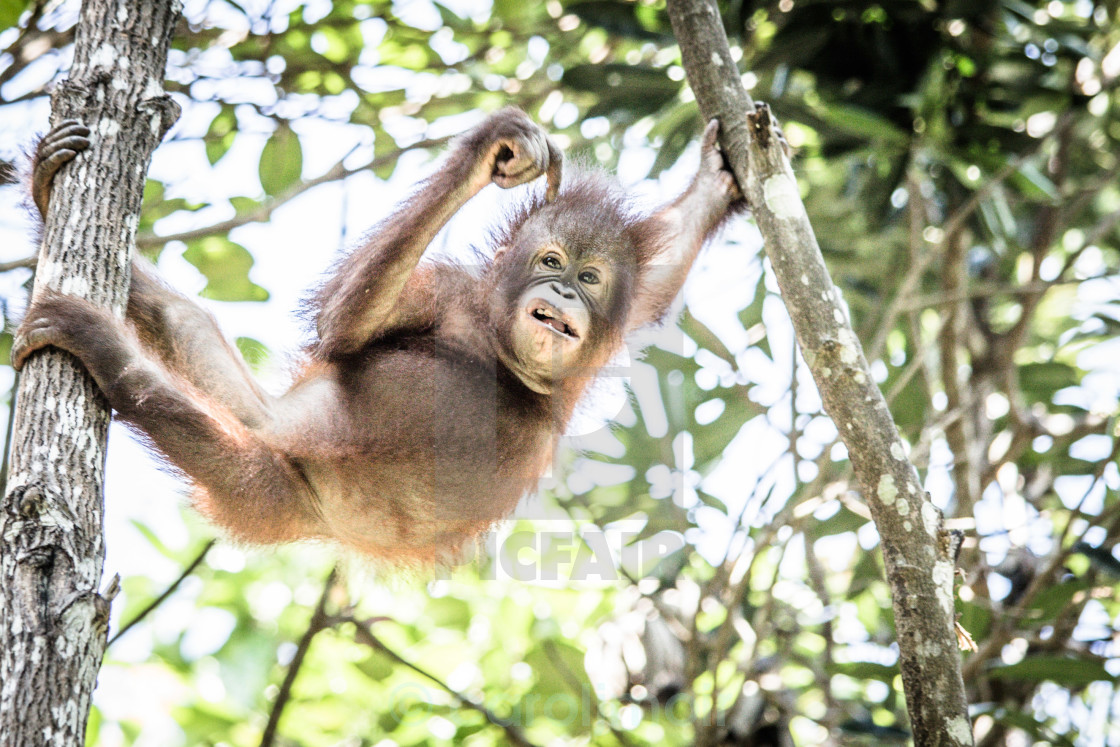 """baby orang-utan"" stock image"