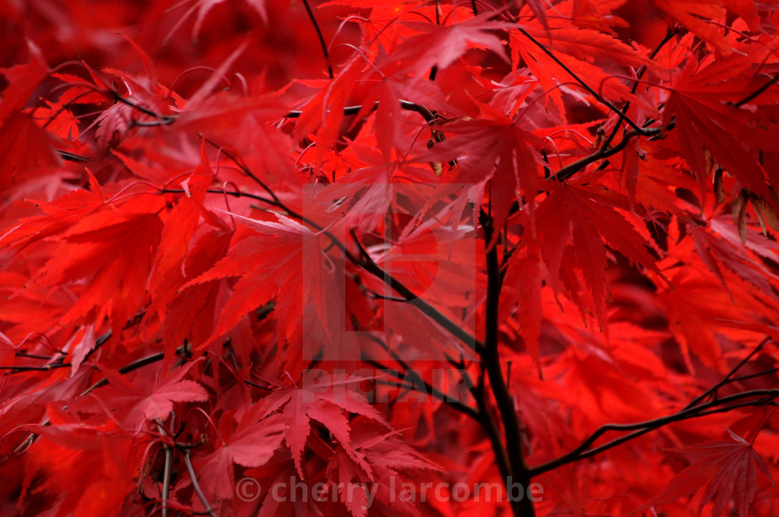 """""""Autumn Red Leaves"""" stock image"""