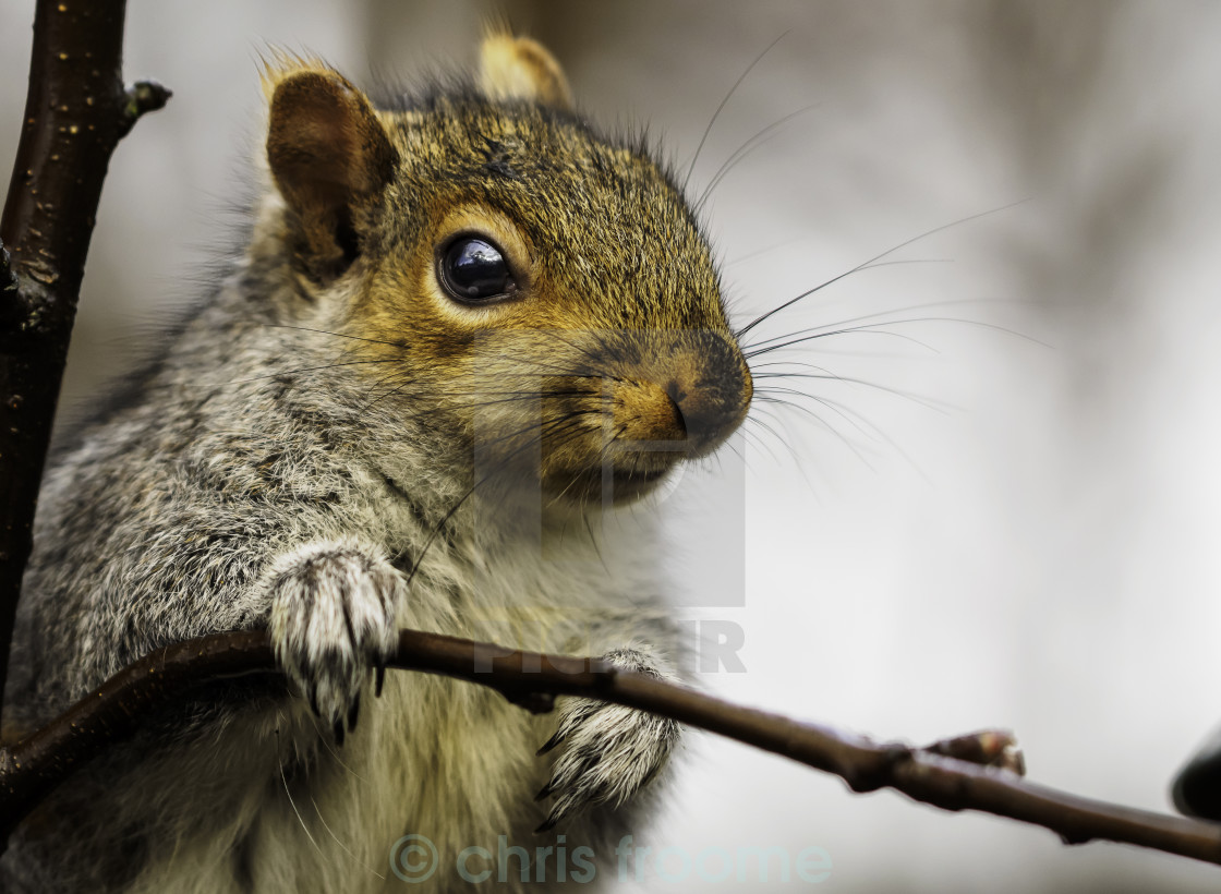 """Grey day,Grey Squirrel"" stock image"