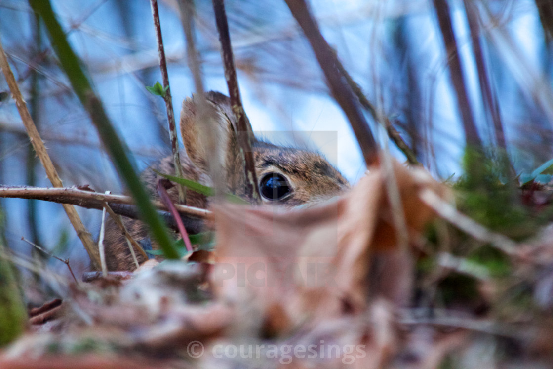 """Hiding Rabbit"" stock image"