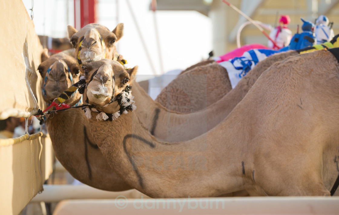 """""""Dubai camel racing club camels at the starting line waiting to race"""" stock image"""