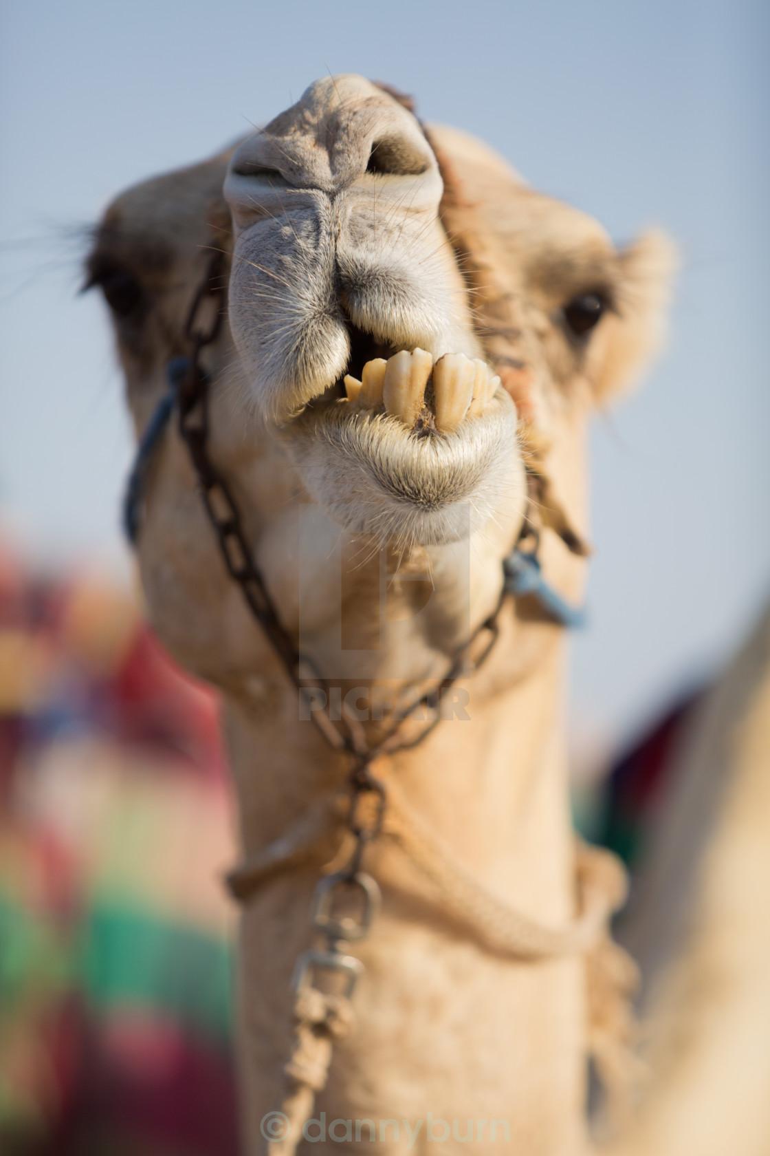 """dubai camel club camel chewing food"" stock image"