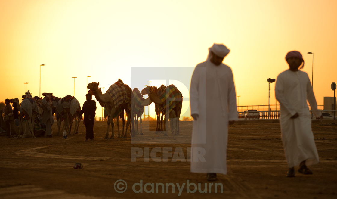 """""""Dubai camel racing club sunset silhouettes of camels and people."""" stock image"""