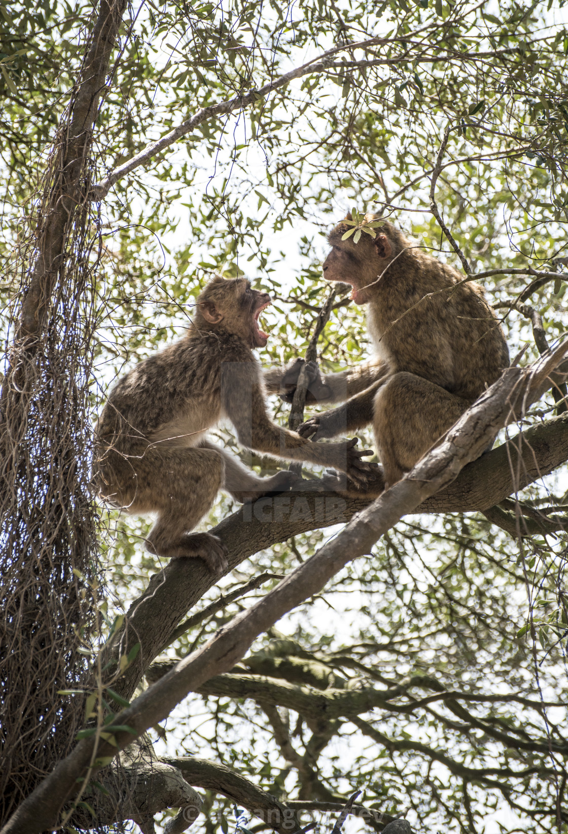 """Monkey fight"" stock image"