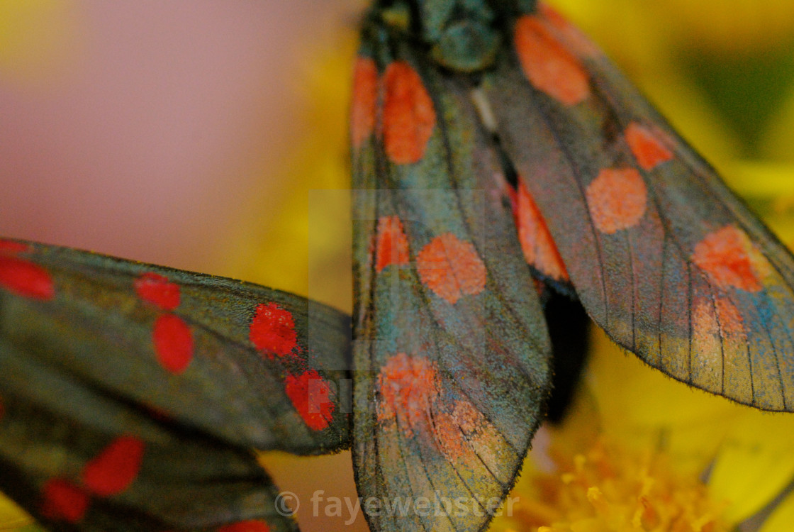 """6 Spot Burnet Moth"" stock image"